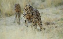 Ghepardo, Namibia.