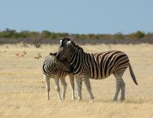 Zebre, Parco di Etosha, Namibia.